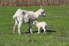 Just born little goat.JPG Stock Photos