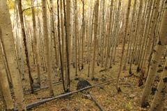 fall aspen grove - stock photo