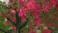 Red red fall leaves Stock Footage