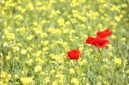 Poppy flowers and yellow flowers spring scene.JPG Stock Photos