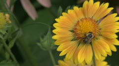 Pollination of a beautiful sunflower (2 of 2) Stock Footage