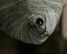 yellow jacket nest - stock photo