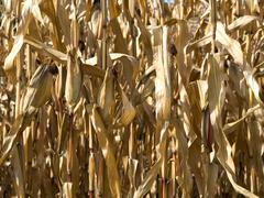 Corn crop at summer Stock Photos
