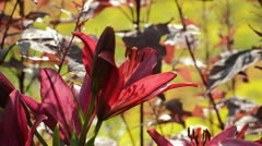Lily (Lilium Paintball) Stock Footage
