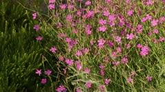 Maiden pink (Dianthus deltoides) Stock Footage
