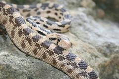 Gopher snake Stock Photos