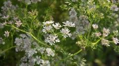 Coriander (Coriandrum sativum) Stock Footage