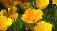 Californian poppy (Eschscholzia californica) Stock Footage