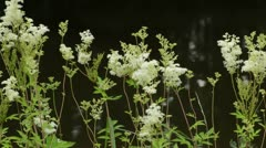 Meadow sweet (Filipendula ulmaria) Stock Footage
