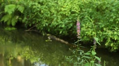Purple loosestrife (Lythrum salicaria) Stock Footage