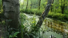 Birch (Betula) at a channel, Spreewald Biosphere Reserve, Germany Stock Footage
