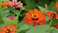 Stock Video Footage of Zinnia elegans