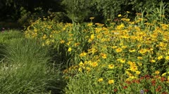 False sunflower (Heliopsis helianthoides) Stock Footage