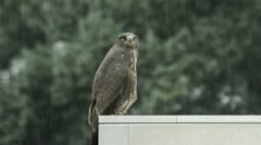Common buzzard (Buteo buteo) on roof Stock Footage