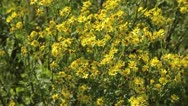 Stock Video Footage of Ragwort (Senecio jacobaea)
