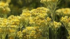 Dwarf everlast (Helichrysum arenarium) Stock Footage