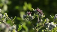 Stock Video Footage of Great burdock (Arctium lappa)