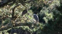 Grey herons nesting in tree Stock Footage