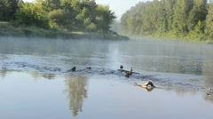 Duck swim misty fogy flowing river water bay morning sunlight Stock Footage