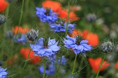 Stock Photo of LOVE IN A MIST