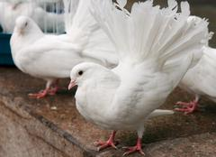 the white pigeon - stock photo