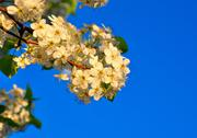 Springtime cherry blossom Stock Photos