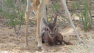 Springbok lamb cleaned after birth Stock Footage
