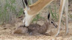 A springbok cleaned minutes after birth - stock footage