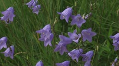 Campanula rotundifolia, Harebell,  Bluebells of Scotland Stock Footage