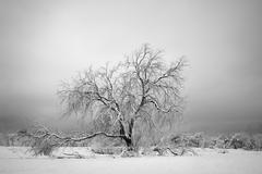 Old Tree in Winter Stock Photos