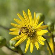 Stock Photo of Bee Feeding on Pollen