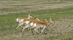 Running Pronghorn Antelope Stock Photos