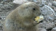 Stock Video Footage of Prairie Dog Nibbles Corn