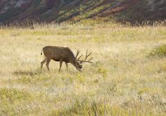 Mule Deer in Meadow - stock photo