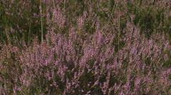 Calluna vulgaris blooming Stock Footage