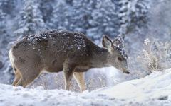 Snowy Deer - stock photo