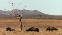 Three Bison Near Tree - stock footage