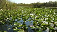 Stock Video Footage of The Florida Everglades Lilly Pads