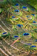 Peacock tail Stock Photos