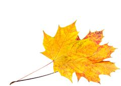 Autumn maple leaf isolated on white Stock Photos