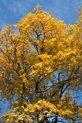 autumn gold - stock photo