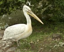 Pelican in wildlife Stock Photos