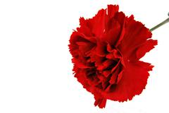 red flowe carnation - stock photo
