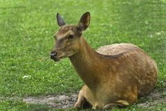 lone doe deer  in the grass - stock photo