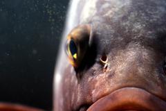 Dusky grouper eye Stock Photos