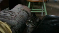 Gray Tabby Cat watches intently from the floor Stock Footage