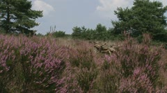 Heath landscape in Veluwe National Park Stock Footage