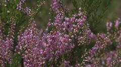 Heath - Calluna vulgaris Stock Footage