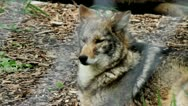 Coyote in captivity Stock Footage