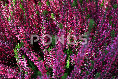 Stock photo of blooming heather flowers on the green meadow